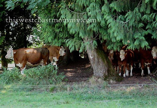 Rondriso cows